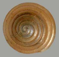Euconulus chersinus
