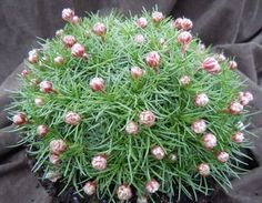 ARMERIA JUNIPERIFOLIA Deep pink flower heads on short stems in late Spring above tight hummocks of spiny leaves, ht A real gem for the rock garden. Plants For Small Gardens, Back Gardens, Alpine Plants, Growing Plants, Pink Flowers, Herbs, Stems, Spring, Fairy