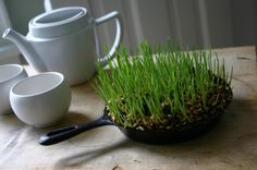 Wheatgrass grown in a cast iron skillet
