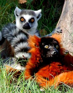 Ring Tailed Lemur and Red Ruffed Lemur, very cool.