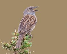 Ferreirinha / Dunnock | Flickr - Photo Sharing!