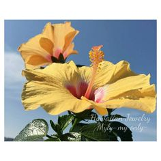 ALOHA���� 益々元気なハイビスカス�� 蕾も沢山つけています�� 最高の癒し✨ Have a beautiful weekend!! Mahalo���� ・ ・ ・ ・ ・  #ハイビスカス #hibiscus  #jp_views_flowershot #tokyograffiti #ハワイ好きな人と繋がりたい #プルメリア#igbest_macros #my_daily_flower #flowerslovers #loves_flowers #hawaiianjewelry #写真好きな人と繋がりたい #flowerstalking #花が好きな人と繋がりたい #イマソラ #はなまっぷ #花言葉 #ファインダー越しの私の世界 #flowergram #igbest_macros #hula #全てに意味がある #flowerpower#家族 #ig_naturelovers#ガーデニング #ハワイアン#hawaiian#ig_japan#phos_japan #myly_myonly…