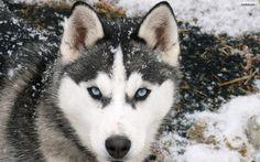 Siberian Husky Dogs simply gorgeous