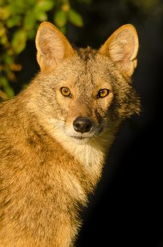 Golden Jackal.....!!!!!! An animal for Peppe from Pagliacci