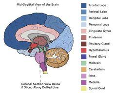 Mid-Sagittal Cross Section of Brain-Brain Anatomy and Function Brain Anatomy And Function, Brain Lobes And Functions, Nervous System Anatomy, Brain Diagram, Doctor Of Nursing Practice, Cerebral Cortex, Brain Structure, Brain Science, Brain Gym