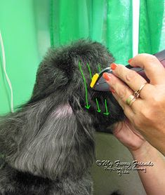Pet Grooming: The Good, The Bad, & The Furry: Scissoring Heads Schnauzer Grooming, Dog Grooming Tips, Poodle Grooming, Dog Grooming Styles, Dog Grooming Salons, Small Poodle, Puppy Care, Poodle Puppies, Schnauzer Puppies