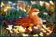 Churchill nature tours - Whimbrel