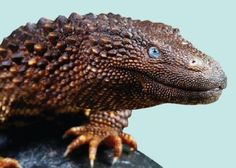 Earless Monitor Lizards Facts and Pictures Explore the great outdoors to learn everything about reptiles! Cute Reptiles, Reptiles And Amphibians, Mammals, Funny Lizards, Animals Images, Animals And Pets, Funny Animals, Beautiful Snakes, Animals Beautiful
