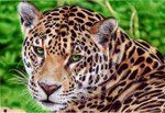 All done with bic pens~  Jaguar - Ballpoint Pen by *VianaArts on deviantART