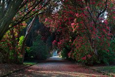 The famous Rhododendron Trail, Kilmacurragh; Kilmacurragh provides a very advantageous situation for growing plants from the Himalaya and the Southern Hemisphere and is today famous for its conifers and calcifuges and of course its Rhododendron Trail!