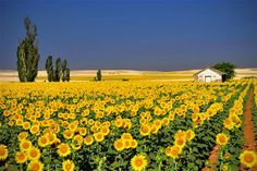 Gorgeous field of sunflowers
