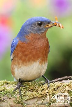 Live Mealworms delight Bluebirds, Robins, Orioles, Titmice, Wrens & many more!