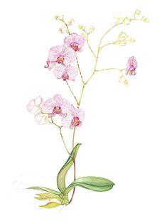 Phalaenopsis 'Monika Lindner'