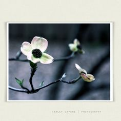 Spring flower photography   Dogwood flower by TraceyCapone on Etsy, $30.00