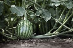 The Arid Watermelon: Gardening in Times of Drought