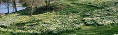 Laurel Ridge Farm Litchfield Ct Daffodil fields
