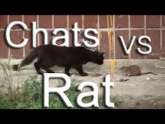 Rat contre chats - YouTube