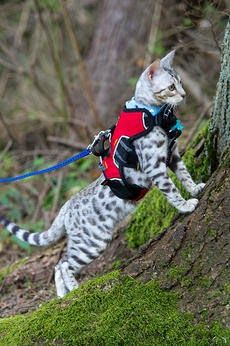 Everyone said I couldn't walk a cat they lied!!! I'm totally going to do this with my cats!