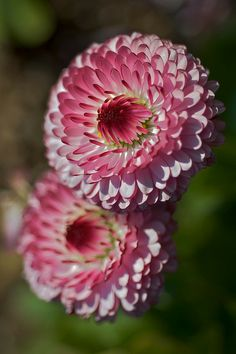 I don't know what it is, but it's lovely!  Makes me think of a cross between a daisy, chrysanthemum, and dahlia.