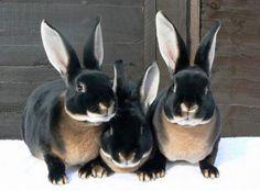 Bunny Rabbits black & tan velveteen