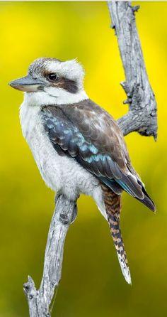 Kookaburra Small Birds, Colorful Birds, Love Birds, Beautiful Birds, Pet Birds, Unique Animals, Animals And Pets, Cute Animals, Australian Animals