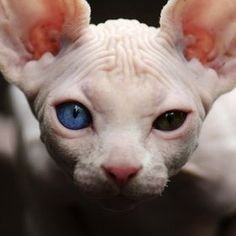 i think hairless cats are way cuter than cats with hair. | RP » Dmitry Zherebtsov....... Awwwwwhhhhhh!!!