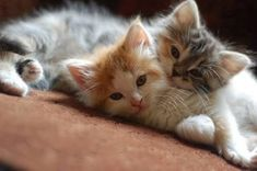 ".""We quickly discovered that 2 kittens were much more fun than one."" --Alan Lacy."