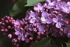 Growing the Common Lilac - Syringa vulgaris
