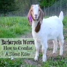 Barber pole is a silent serial killer that runs rampant in the spring and fall months. I give best treatment for barber pole worms in goats. Keeping Goats, Raising Goats, Pet Pigeon, Goat Toys, Show Goats, Goat Care, Boer Goats, Nigerian Dwarf Goats, Goat Farming