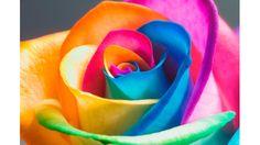 自宅でできる! 虹色のバラの作り方