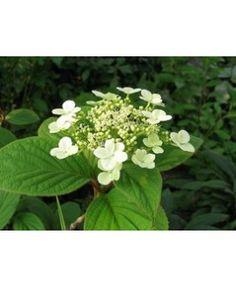 Hortensia Hydrangea heteromalla Nepal Beauty