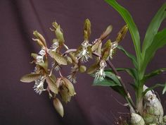 Orquideas Cymbidium, Green Orchid, Beach Wedding Centerpieces, Paludarium, Orchidaceae, Exotic Plants, Horticulture, Hibiscus, Flora
