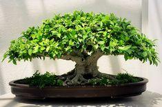 Tiger Bark Ficus Bonsai, Washington, DC by Grufnik