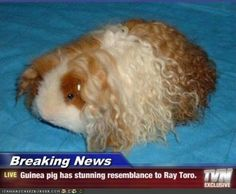 The Texel, a newer guinea pig breed, has a coat made up of curls throughout the . The Texel, a new Robert Plant, Hamsters, Rodents, Guinea Pig Breeding, Pigs Eating, Ray Toro, Cute Guinea Pigs, Pet Pigs, My Chemical Romance