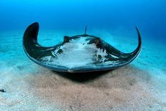Southern stingray ~ The southern stingray, Dasyatis americana, is a stingray of the family Dasyatidae found in tropical and subtropical waters of the Western Atlantic Ocean from New Jersey to Brazil.