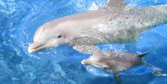 Dolphins recognise old friends' whistles after decades of separation