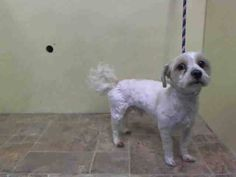 TO BE DESTROYED - 02/06/15 Manhattan Center  My name is PRINCE. My Animal ID # is A1027056. I am a male white and tan poodle min and havanese mix. The shelter thinks I am about 4 YEARS old.  I came in the shelter as a OWNER SUR on 02/03/2015 from NY 10468, owner surrender reason stated was MOVE2PRIVA.