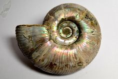 Puzosia Ammonite ref:3899 Fossil, Madagascar