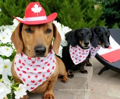 His squad looks way more commanding and influential than anyone in Parliament, tbh. | This Dachshund Is Not The Hero Canada Deserves, But The Hero Canada Needs