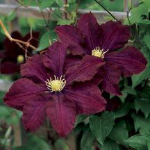 Midnight Showers Clematis....for the picket fence against the garage...striking contrast! 8 to 10 foot vines bloom from late May to September.  ZONE 4-8