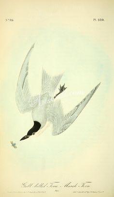 Gull-billed Tern, Marsh Tern   ...