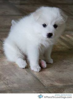 American Eskimo puppy. My little dog Angel looked just like this when she was 6 weeks old