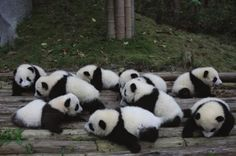 """Twelve adorable baby pandas are the central attraction for the Chengdu Panda Base's Spring Festival """"Panda Carnival"""" this year! Animals And Pets, Baby Animals, Cute Animals, Baby Pandas, Giant Pandas, Beautiful Creatures, Animals Beautiful, Animal Pictures, Cute Pictures"""