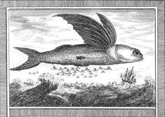 """Plus de 70 espèces de #poissons volants sont répertoriées. Il vivent dans tous les #océans, principalement dans les eaux chaudes tropicales. Pour se propulser hors de l'eau, ils déplacent rapidement leur lobe inférieur qui aide au """"décollage"""". Ils peuvent alors atteindre une vitesse pouvant aller jusqu'à 60 km/h - #numelyo #bestiaire #aquatique"""