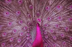 pink peacocks and peahens where do they come from - Google Search