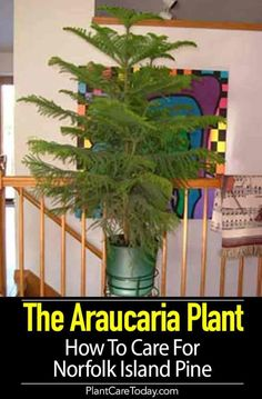 "Araucaria Plant - How To Care For Norfolk Island Pine Araucaria plant helps many people realize that poinsettia is not the only ""Christmas season"" plant. Don't forget the Norfolk Island pine tree. Pine Christmas Tree, Christmas Plants, Pine Tree, Christmas Colors, Norfolk Pine Care, Tree Mulch, Buy Flowers Online, Inside Plants, Gardening Tips"