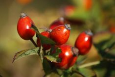 Rosehip Oil Uses, Rosehip Oil Benefits, Rosehip Tea, Rosehip Seed Oil, Tea Benefits, Rosehip Syrup, What Is Rose, Berry, Chill Pill