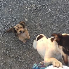 Scruffy is getting bigger. #dog #puppy #romania #arcus #arkos #sepsiszentgyörgy #sfantugheorghe