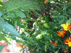 Its hard to see but I submerged a plastic container halfway in the dirt, then planted tomatoes and chrysanthemums