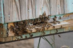 How to stop honey bees from robbing? Drone Bee, Honey Label, Beekeeping For Beginners, Bee Sting, Urban Homesteading, Old Things, Things To Sell, Save The Bees, Grow Your Own Food